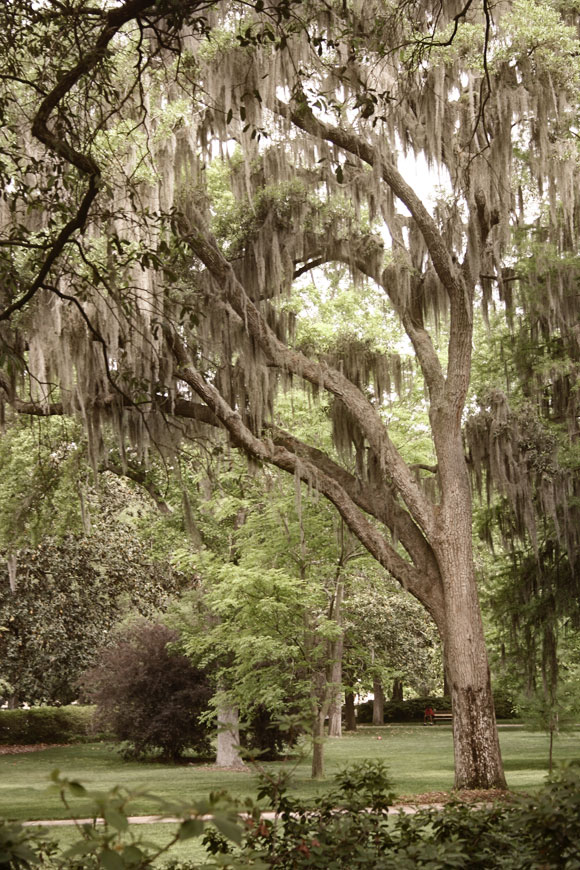 Spanish Moss in Savannah, Georgia